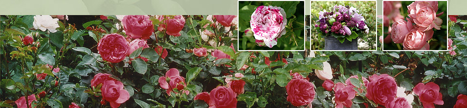 rosen pflanzen rosen richtig pflanzen gartentr ume rosen. Black Bedroom Furniture Sets. Home Design Ideas